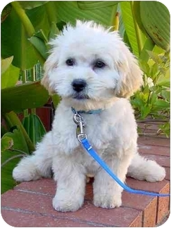 Bichon Frise/Poodle (Toy or Tea Cup) Mix Puppy for adoption in La Costa, California - Rory