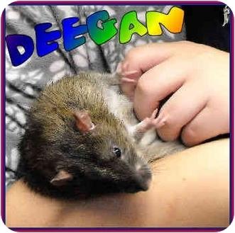 Rat for adoption in Las Vegas, Nevada - Deegan