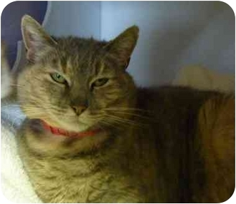 Domestic Shorthair Cat for adoption in Grants Pass, Oregon - Momma Kitty