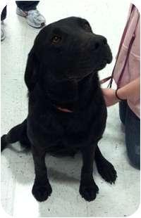 Labrador Retriever Mix Dog for adoption in Seattle, Washington - Lucky