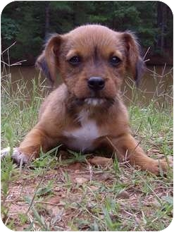 Terrier (Unknown Type, Small)/Shih Tzu Mix Puppy for adoption in Bethel Springs, Tennessee - Max