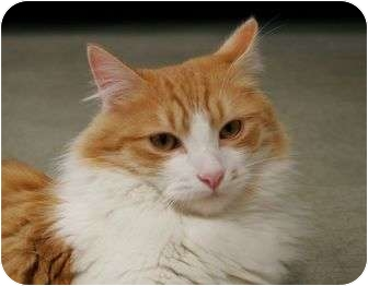 Domestic Longhair Cat for adoption in Phoenix, Oregon - Slinky