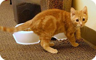 Domestic Shorthair Kitten for adoption in St. Louis, Missouri - Twister