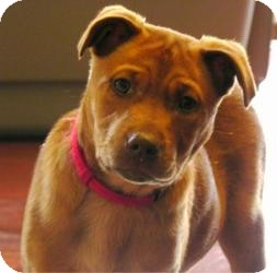 Shepherd (Unknown Type) Mix Puppy for adoption in Marlton, New Jersey - Lola