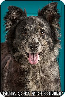 Australian Shepherd Mix Dog for adoption in Owensboro, Kentucky - Harmony