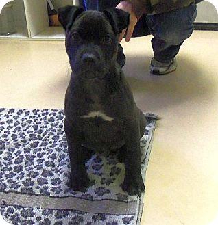 Pit Bull Terrier/Labrador Retriever Mix Puppy for adoption in Brattleboro, Vermont - Spiff (!Urgent!)