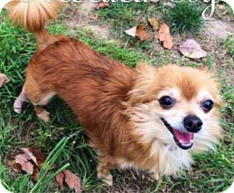 Pomeranian/Pomeranian Mix Dog for adoption in Gilbert, Arizona - Piper