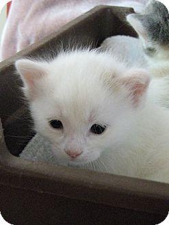 Domestic Shorthair Kitten for adoption in tama, Iowa - Thursday