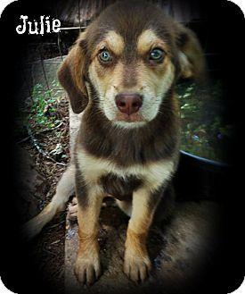 Beagle/Border Collie Mix Puppy for adoption in Glastonbury, Connecticut - Julie