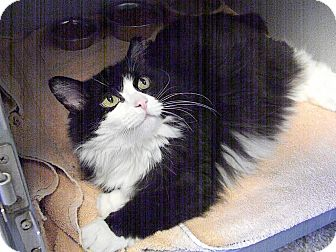 Domestic Longhair Cat for adoption in Indianola, Iowa - puff