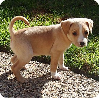Labrador Retriever/Beagle Mix Puppy for adoption in La Habra Heights, California - Cain