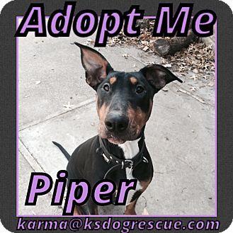 Doberman Pinscher/Bull Terrier Mix Dog for adoption in Cheney, Kansas - Piper