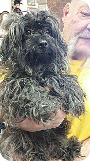 Shih Tzu/Poodle (Miniature) Mix Dog for adoption in Ogden, Utah - Matty