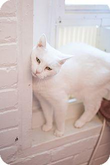 Domestic Shorthair Cat for adoption in Statesville, North Carolina - Princess
