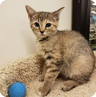 Domestic Shorthair Kitten for adoption in Colonial Heights, Virginia - Cecilia