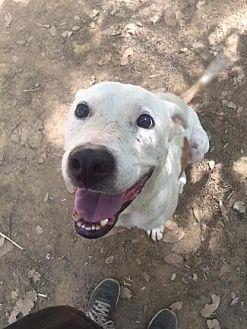 Greyhound/Boxer Mix Dog for adoption in Pt. Richmond, California - ERNIE