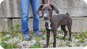Weimaraner Mix Puppy for adoption in Frankfort, Illinois - Ash