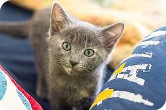 American Shorthair Kitten for adoption in Morgantown, West Virginia - Bo Peep