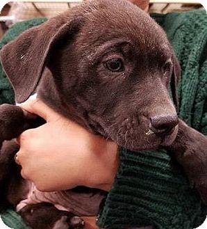 Retriever (Unknown Type) Mix Puppy for adoption in Gainesville, Florida - Onion