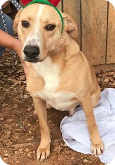 Golden Retriever/Labrador Retriever Mix Dog for adoption in Pompton Lakes, New Jersey - Moe