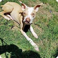 Adopt A Pet :: Blaze - Columbia, SC