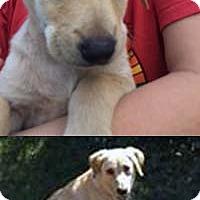 Adopt A Pet :: Gold N Lab Forest - Chantilly, VA
