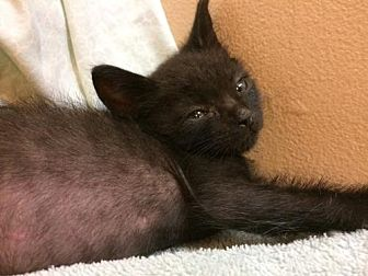 Domestic Shorthair Kitten for adoption in Santa Monica, California - Midnite