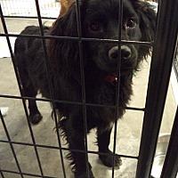 Adopt A Pet :: Lui # 1151X - Nixa, MO