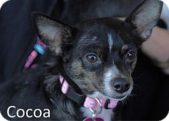 Chihuahua Mix Dog for adoption in Lake Forest, California - Cocoa