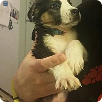 Adopt A Pet :: Kr Litter - Emony - APPLICATIONS CLOSED - Livonia, MI