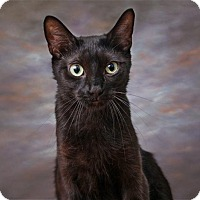 Adopt A Pet :: Shimmer - Sterling Heights, MI