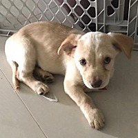 Adopt A Pet :: Norma Jean - Royal Palm Beach, FL