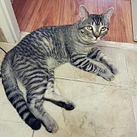 Adopt A Pet :: Joffrey - Mississauga, Ontario, ON