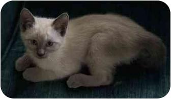 Himalayan Kitten for adoption in Kaufman, Texas - Aiko