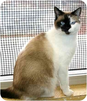 Domestic Shorthair Cat for adoption in Phoenix, Oregon - Berry