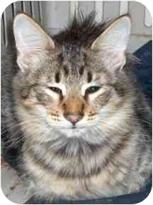 Domestic Longhair Cat for adoption in Haughton, Louisiana - Florence