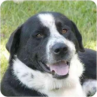 Labrador Retriever/Pointer Mix Dog for adoption in Mocksville, North Carolina - Fredo