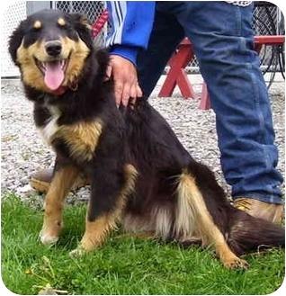 Collie/Shepherd (Unknown Type) Mix Dog for adoption in Somerset, Pennsylvania - Spring