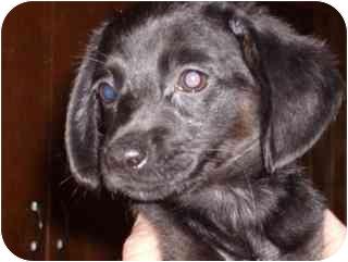 Chihuahua/Dachshund Mix Puppy for adoption in Edon, Ohio - Harmony