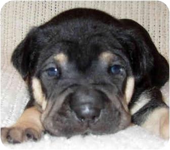 Shar Pei Mix Puppy