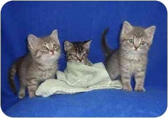 Domestic Shorthair Kitten for adoption in Port Hope, Ontario - Baby Kittens!
