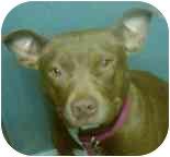 American Pit Bull Terrier Mix Dog for adoption in Seattle, Washington - Nevaeh