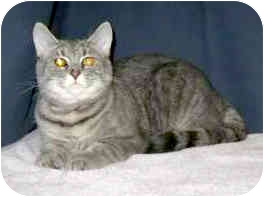 Domestic Shorthair Cat for adoption in Powell, Ohio - Millie