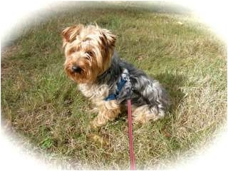Silky Terrier Mix Dog for adoption in Bellingham, Washington - Quincy