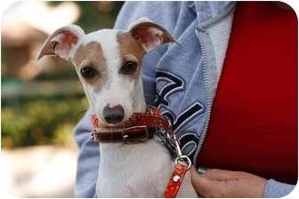 Italian Greyhound Dog for adoption in Costa Mesa, California - Benito - OC