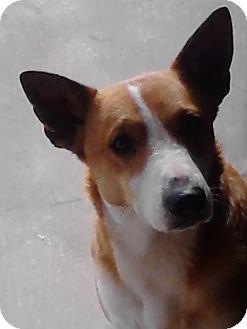 Corgi/Labrador Retriever Mix Dog for adoption in Hollis, Maine - Stryker*courtesy post*