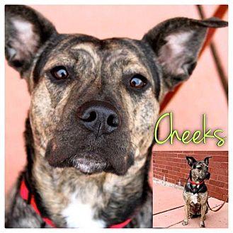 American Staffordshire Terrier/Boxer Mix Dog for adoption in Garden City, Michigan - Cheeks