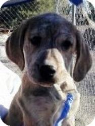 Labrador Retriever/Boxer Mix Puppy for adoption in Las Vegas, Nevada - Emma's Emmy