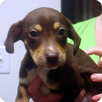 Beagle/Feist Mix Puppy for adoption in Greencastle, North Carolina - Conway