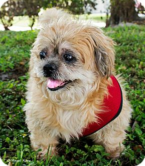 Lhasa Apso Mix Dog for adoption in Coral Springs, Florida - Lucas